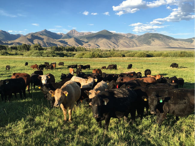 Image of beef cattle